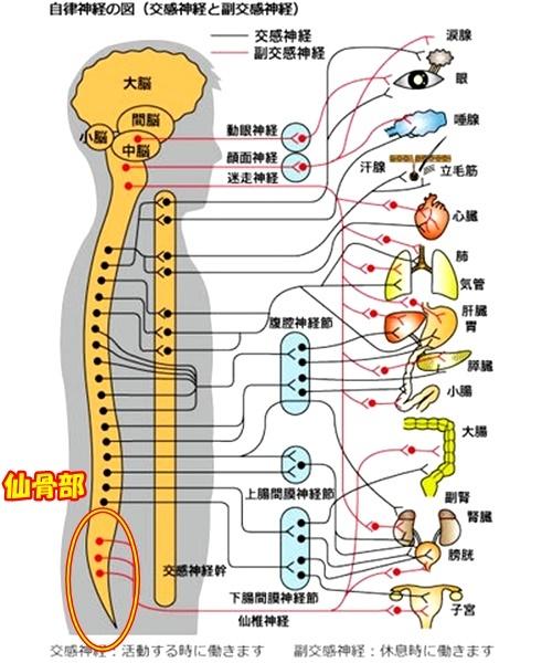 仙骨自律神経.jpg